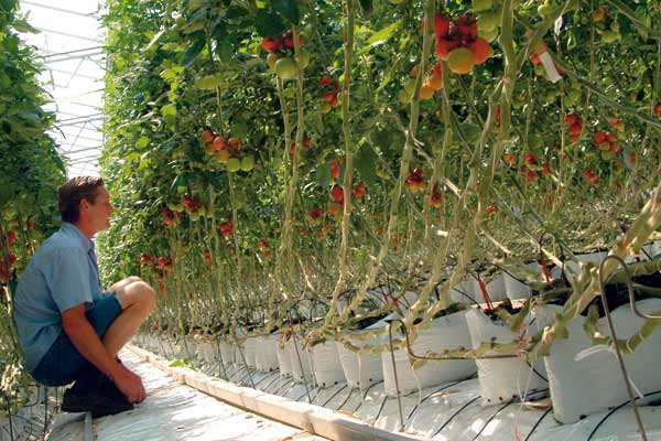 Tomatenproduktion in Steinwolle